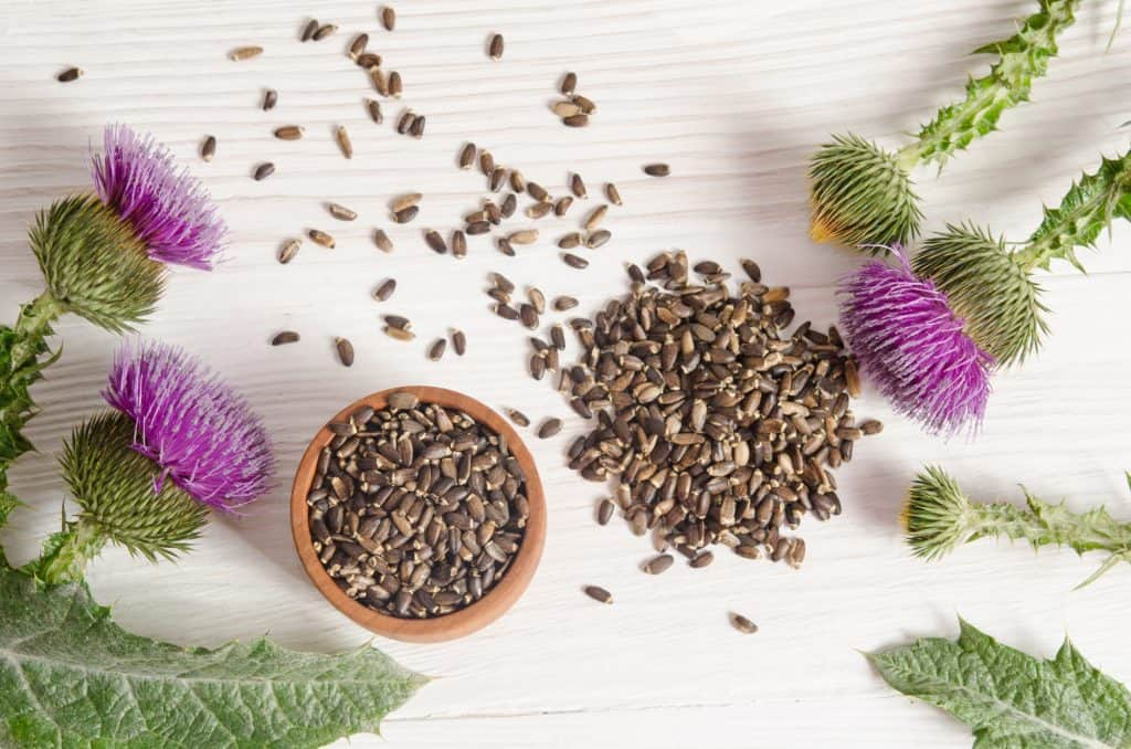 Seeds and the flowers of milk thistle